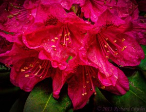 rainonrhodies-
