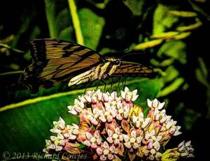 swallowtailonmilkweed5-1