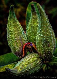 milkweed1.3