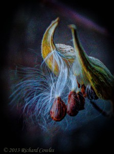 milkweed1.2