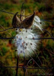 milkweed2.2